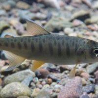 Los estanques, vitales para la supervivencia del salmón coho en el futuro