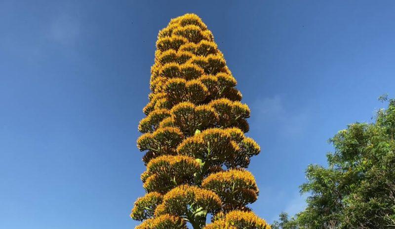 El agave caribeño gigante florece en Canarias tras 30 años de espera