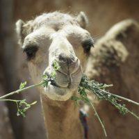 Camellos contra murciélagos