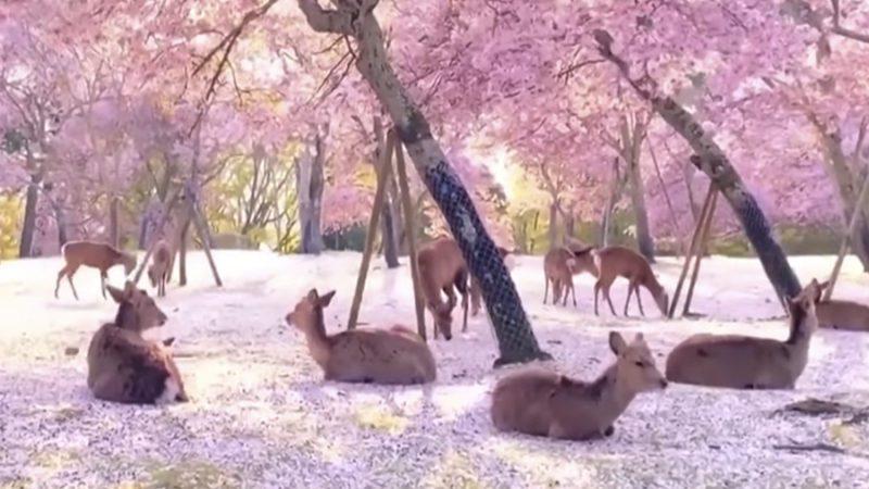 Decenas de ciervos descansan bajo los cerezos en flor en Japón
