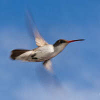 El amor está matando al colibrí