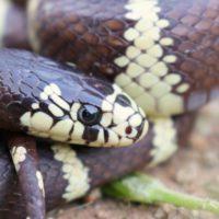 Las serpientes exóticas invaden Formentera, Ibiza y Gran Canaria