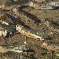 La plaga de langostas ataca principalmente a países hambrientos