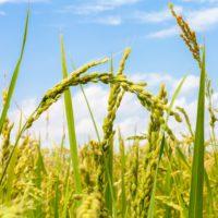 Un enfriamiento global propició la expansión del arroz por Asia