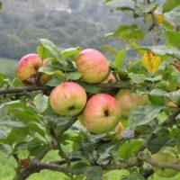 Abejas y petirrojos, aliados de la manzana para sidra