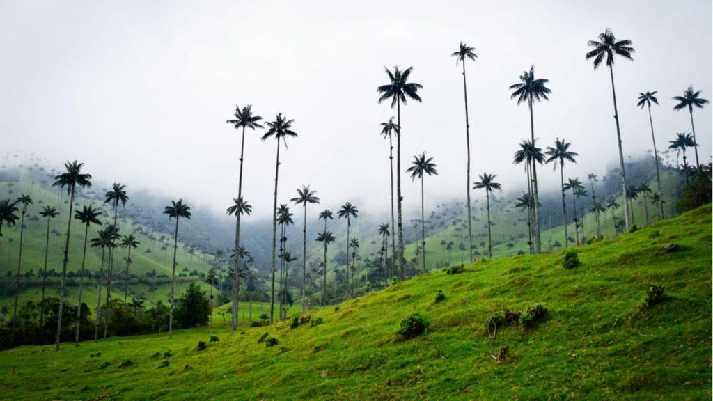 El árbol nacional de Colombia es la palma de cera del Quindío, como las que crecen en en el valle de Cocora, en la imagen. | Foto: Molly Trerotola