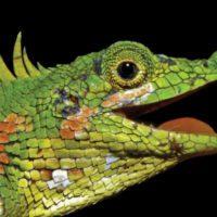 Hallan un lagarto con cuernos que no se había visto en 130 años