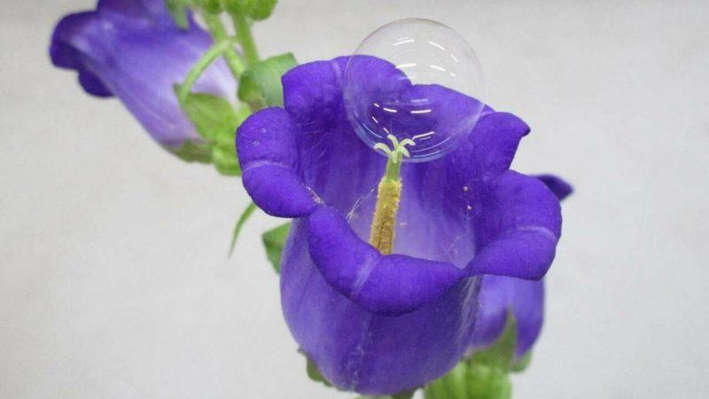 Desarrollan unas burbujas de jabón capaces de polinizar flores