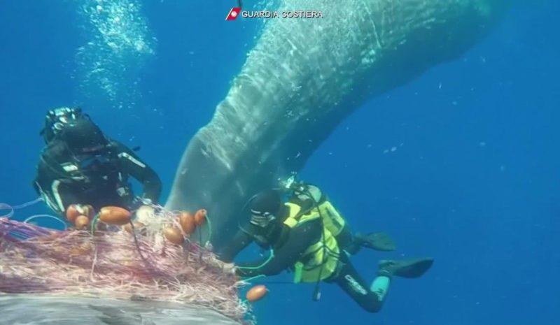 Liberan a una ballena atrapada en una red de pesca ilegal