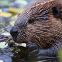 Los castores colonizan Alaska y provocan una crisis ambiental
