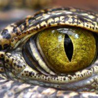 Un cocodrilo en el Pisuerga