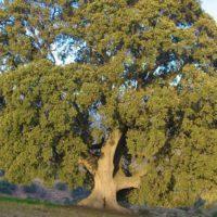 Acción de urgencia para salvar el árbol más grande de Andalucía