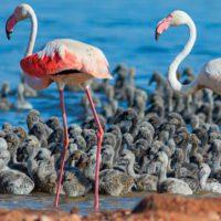 Los flamencos crían por primera vez en la laguna de Torrevieja