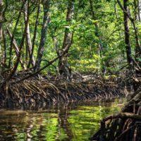 Los manglares, en peligro por el aumento del nivel del mar