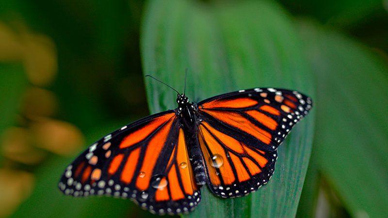 Descubren el mecanismo de las mariposas para repeler el agua de lluvia