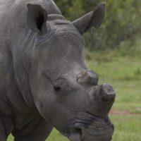 Botsuana descuerna a unos cien rinocerontes para frenar la caza furtiva