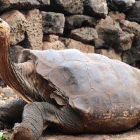 La tortuga inseminadora de Galápagos vuelve a casa después de 87 años