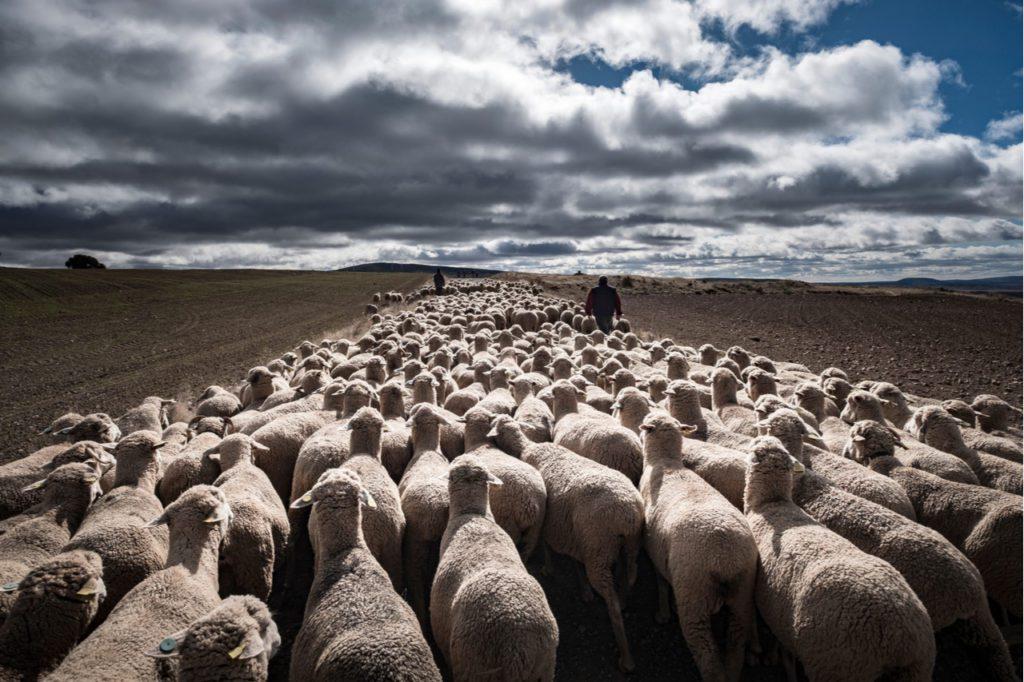 Un pastor hace la trashumancia con sus ovejas en la provincia de Soria. | Foto: CSP