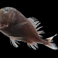 El ultranegro de los peces abisales es el futuro del camuflaje