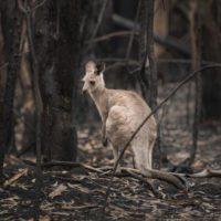Los incendios de Australia afectaron a 3 millones de animales
