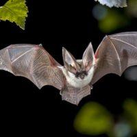 Revelan el secreto del 'superpoder' inmunitario de los murciélagos