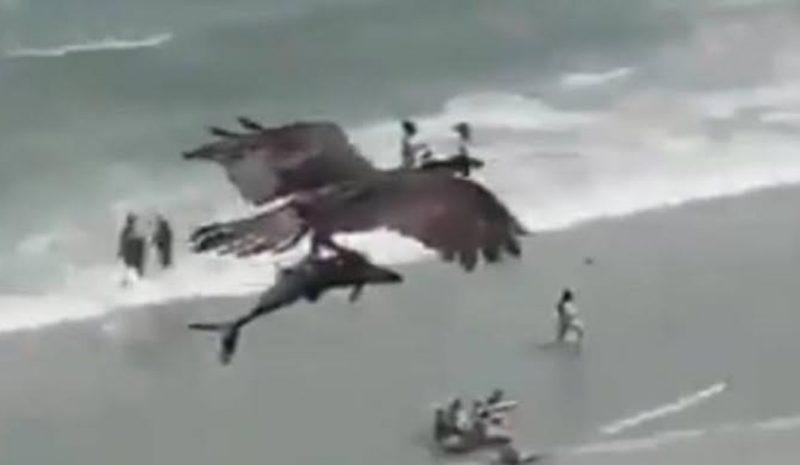 Un águila atrapa un tiburón en una playa de Florida