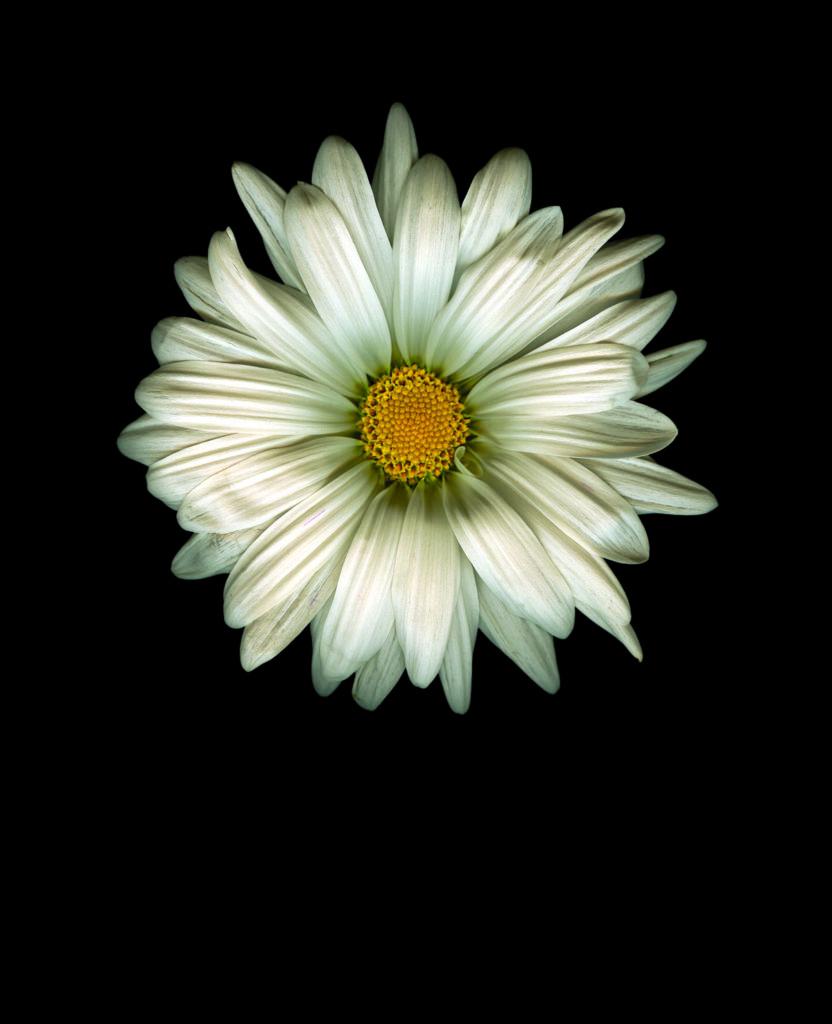 'Crysanthemum monifolium' mostrando la metamorfosis regular. | Foto: Gordon L. Miller
