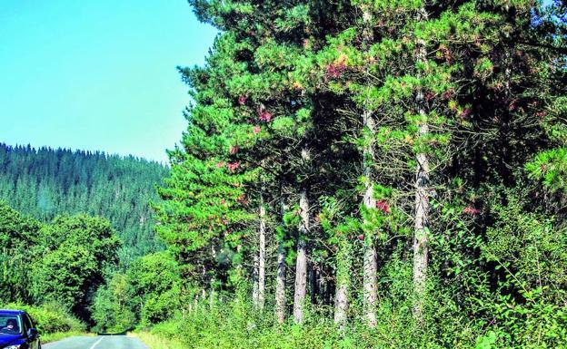 Cultivos forestales: Pinus insignis en el Norte de España
