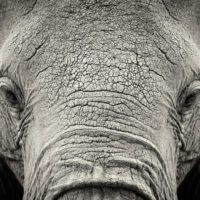 Misteriosa muerte masiva de cientos de elefantes en Botsuana