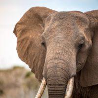 La muerte masiva de elefantes en Botsuana podría deberse a una neurotoxina