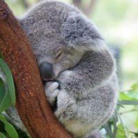 Los koalas podrían desaparecer del este de Australia en 2050