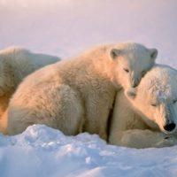 Los osos polares están destinados a la extinción para 2100