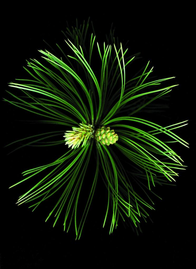 Agujas de pino negro austríaco ('Pinus nigra'). | Foto: Gordon L. Miller