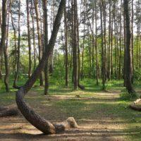 El misterio de los 'pinos torcidos' de Polonia