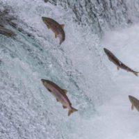 La población de peces migradores de agua dulce se reduce un 76% en cinco décadas