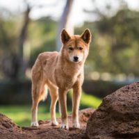 El veneno ha impulsado el crecimiento de los dingos australianos