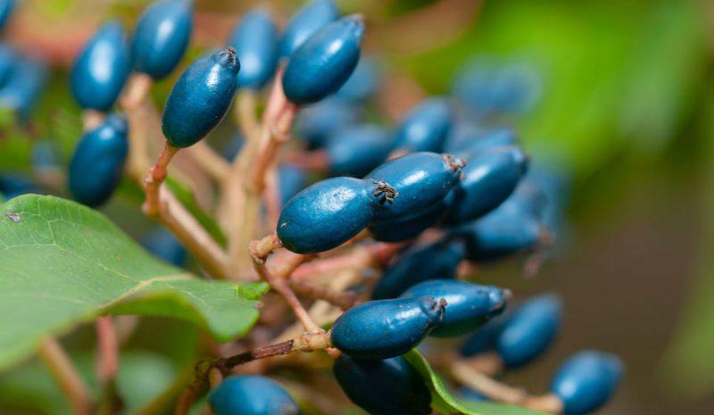 Los científicos hallan el por qué del azul tan llamativo de estos frutos
