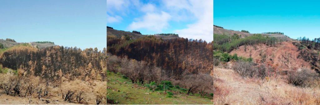 Evolución de la vegetación en la zona 0 de Tamadaba | Foto: fenixgrancanaria