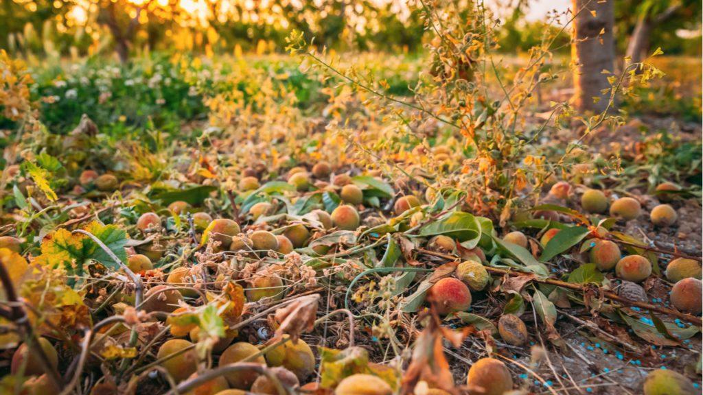 Un cultivo de melocotón destrozado por el granizo.   FOTO Grisha Bruev