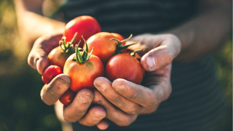 En busca del tomate perdido