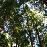 La magia de pasear por un bosque de secuoyas en Cantabria