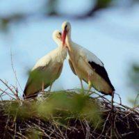 Malena y Klepetan, una inseparable y romántica pareja de cigüeñas