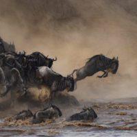 Un millón y medio de ñus cruzan casi sin testigos el río Mara
