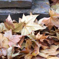 La caída de hojas en pleno verano: una adaptación al calor