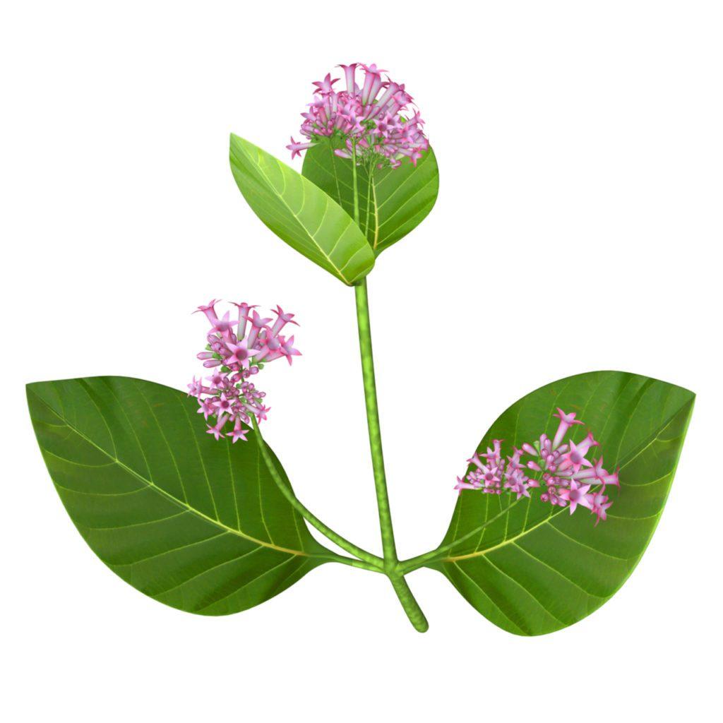 Hojas y flores del árbol de la quina, del género 'Cinchona'. | FOTO:  Shutterstock