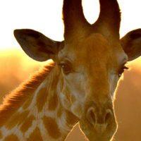 ¿Sabías para qué sirven las manchas de las jirafas?