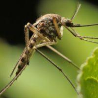 Por qué los mosquitos nos eligieron como víctimas hace miles de años