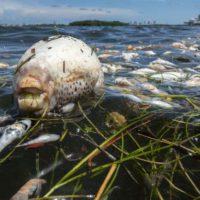 Miles de peces de gran tamaño aparecen muertos en Miami