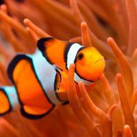 ¿Sabías que el pez payaso lucha contra la desaparición de su hábitat natural?
