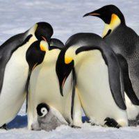 Los satélites, aliados en la búsqueda de pingüinos emperador